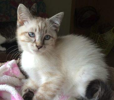 Sully - foster kitten