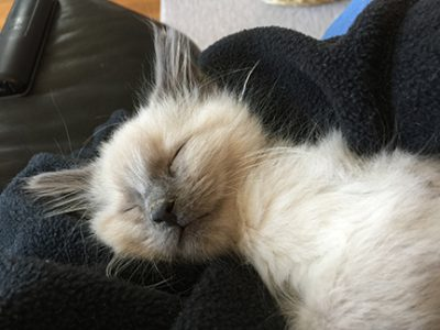 Max - foster kitten