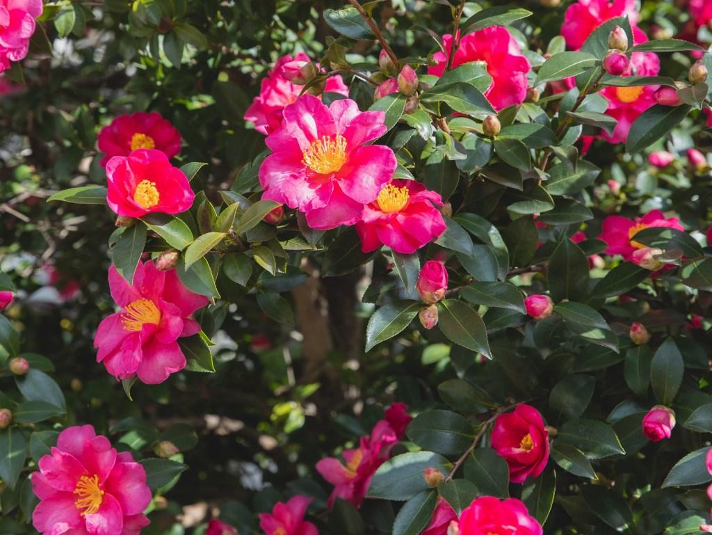 flowering camellia bush