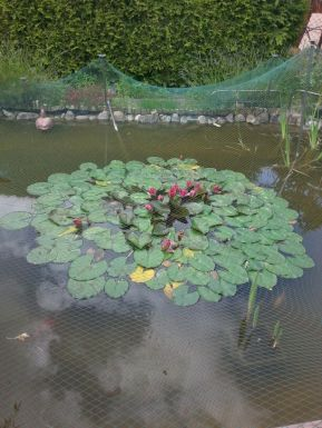The garden pond