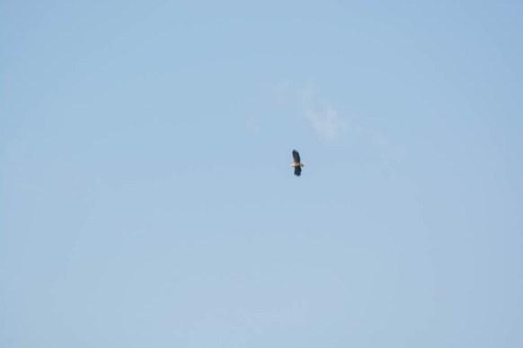 White-tailed eagle - sea eagle - seeadler - photo 8