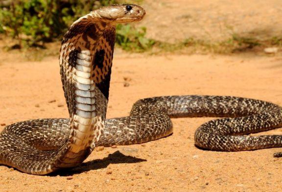 Deux cobras royaux s'accouplent en plein jour devant des habitants – vidéo