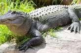 Elle a failli se retrouver dans la gueule d'un crocodile - vidéo