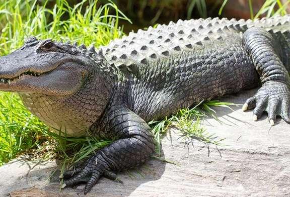 Des policiers essaient d'attraper un alligator caché sous une voiture – vidéo