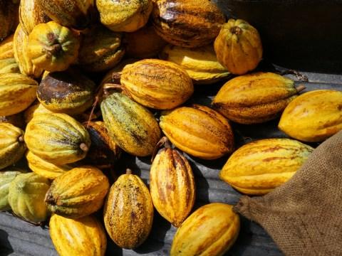 Cacao, entre profit et destruction.