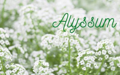 Alyssum in June for Pollinators