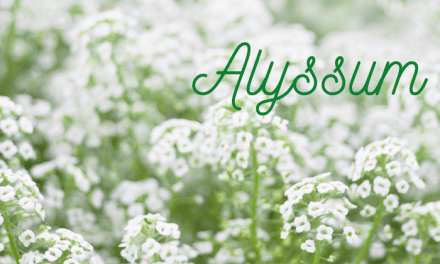 Alyssum in June for Pollinators