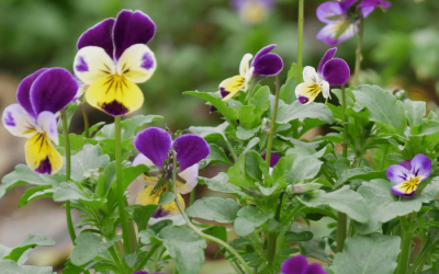 Viola in July for Pollinators