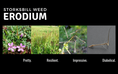 My weed hitlist – Erodium