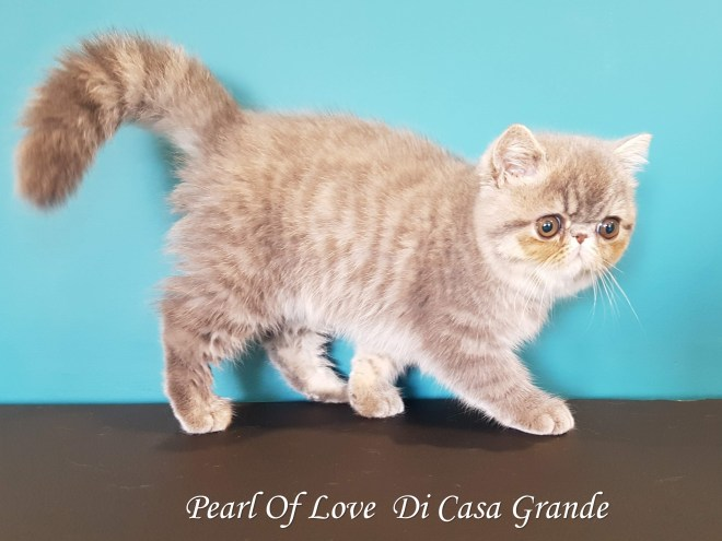 PEARL OF LOVE Di Casa Grande 2019 (1000 sur 28)