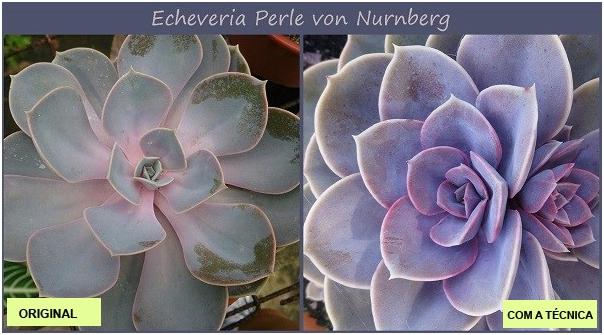 Suculentas Coloridas - ECHEVERIA PERLE VON NURMBERG