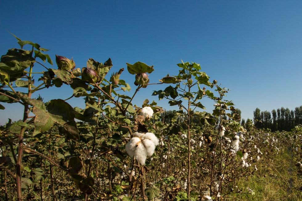 Un champ de coton