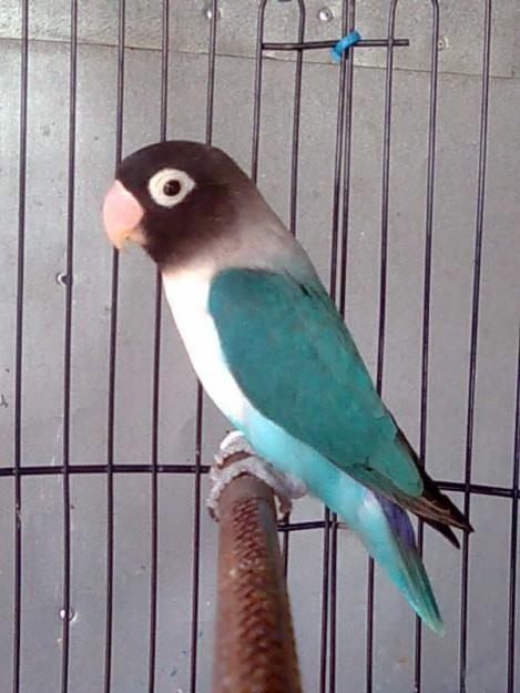Lovebird Biru