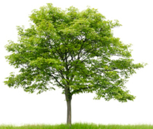 Picture Of Sycamore
