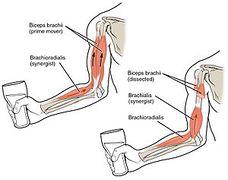 انواع العضلات Didaquest