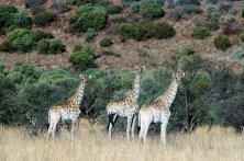 Eine Giraffenfamilie nimmt das Geschehen von hoher Warte aus ungerührt zur Kenntnis. © Stephan Lindloff / Volkswagen