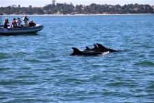 Auf zahlreichen Booten werden Delfinbeobachtungen im Hafen von Setubal angeboten. © Kurt Sohnemann