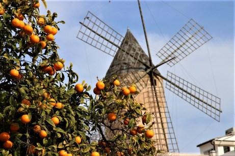 Zitrusfrüchte wachsen zu jeder Jahreszeit auf Mallorca. © Kurt Sohnemann