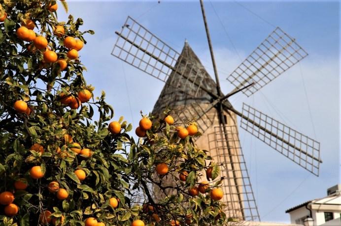 Zitrusfrüchte auf Mallorca. © Kurt Sohnemann