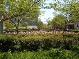 Die Tulpen blühen gerade in voller Pracht