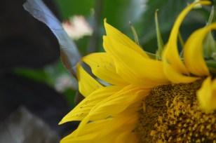 Sonnenblume