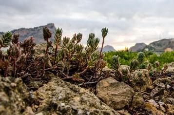 Foto einer Pflanze in einer kargen Felslandschaft.