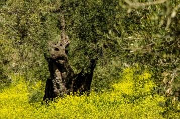 Foto von einem alten, knorigen Olivenbaum auf einer Wiese.