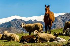 Foto von Schafen und einem Pferd auf der Weide, im Hintergrund die Berge.