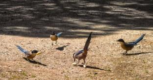 Vier Blauelstern, die gerade Brotstücke essen.