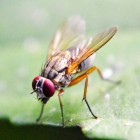 Drosophila Melanogaster: de fruitvlieg