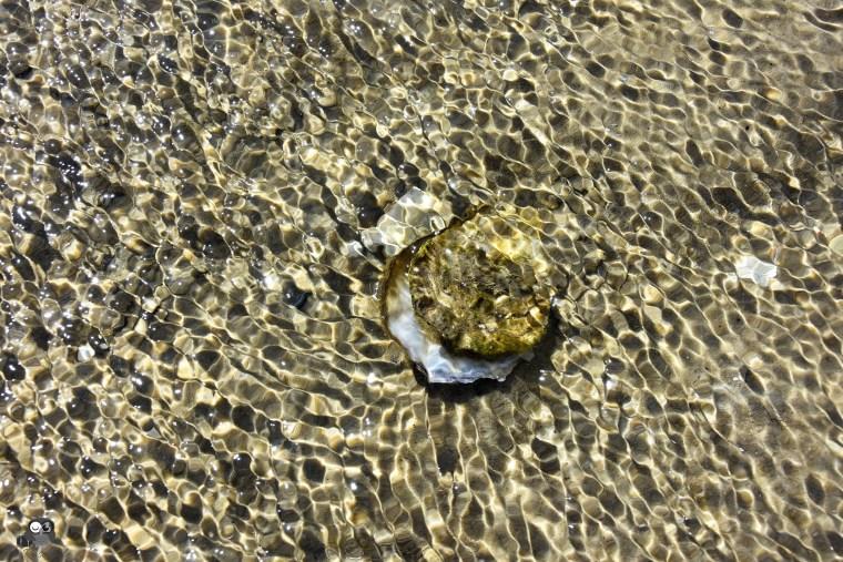Auster unter Wasser