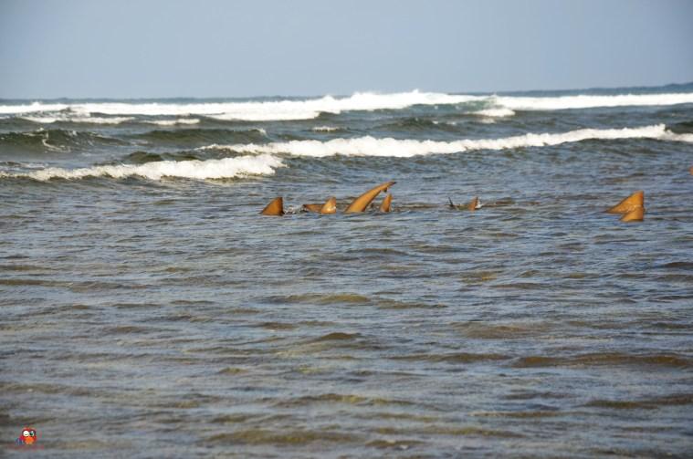 Zitronenhaie tummeln sich im Atlantik