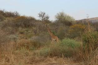 Giraf, Tanzania, Dierenartsen Zonder Grenzen