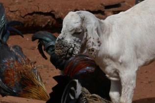 Kippen, geit, Tanzania, Dierenartsen Zonder Grenzen