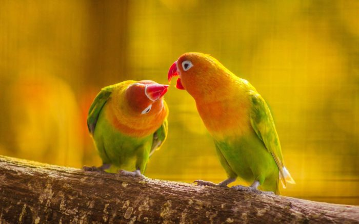 parrot-couple-on-branch-1440x900 kopie
