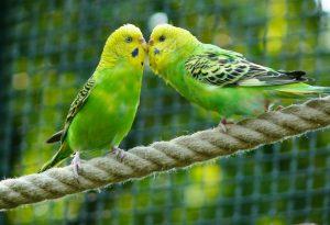 vogels - parkieten