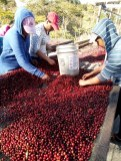 hand sorting cherries