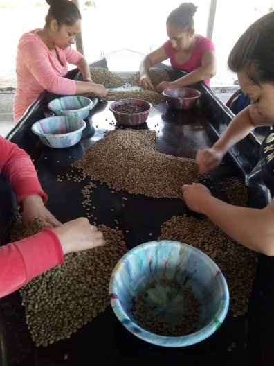 hand sorting beans 2