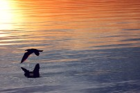 Avernakø Sonnenuntergang mit Möve