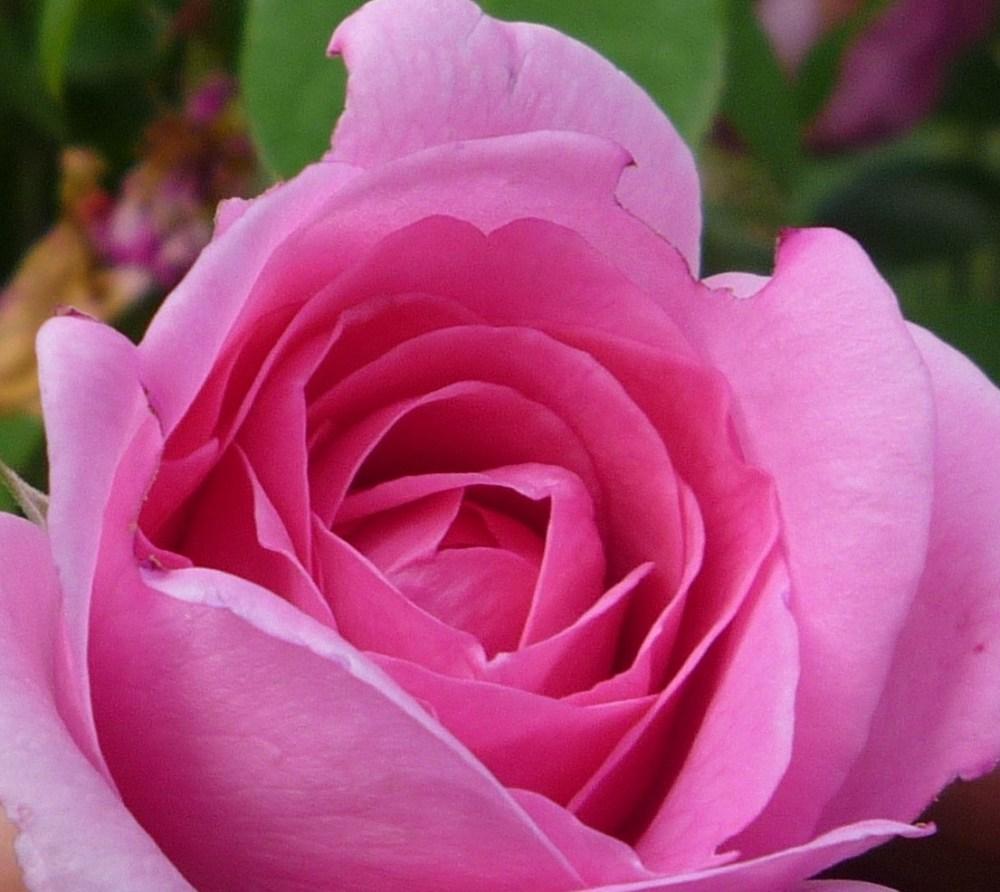 Rosebud2c