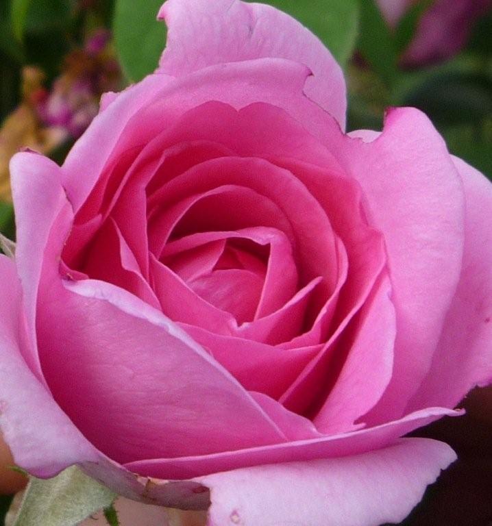 Rosebud2