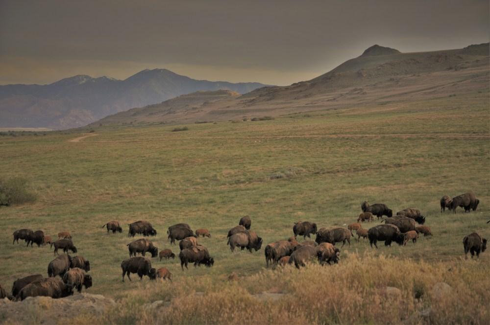 Buffalo Herd 2