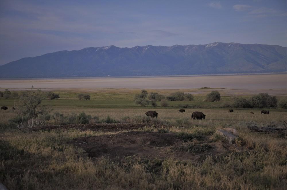 Buffalo Herd3
