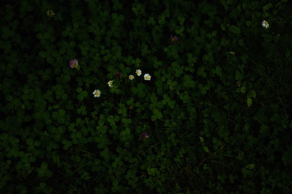 Gänseblümchen im Klee © Silvia Springer