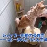 柴犬シン君 お風呂に入るのがとっても上手~Very good at it takes a bath~