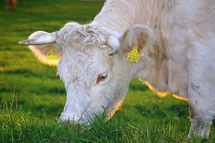 ganado organico