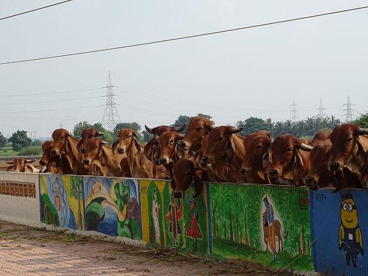 vaca hindu