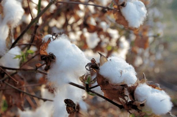 Dieta de algodón