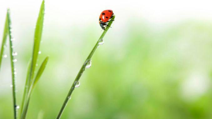 ladybug-on-the-green-grass