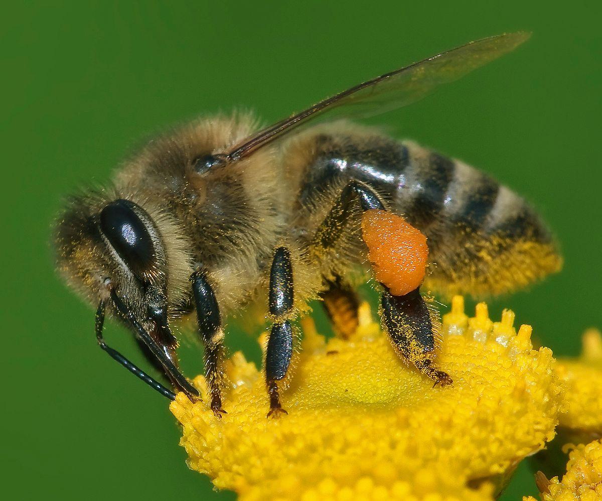 Sự khác biệt giữa ong mật và ong bắp cày – Thế giới côn trùng
